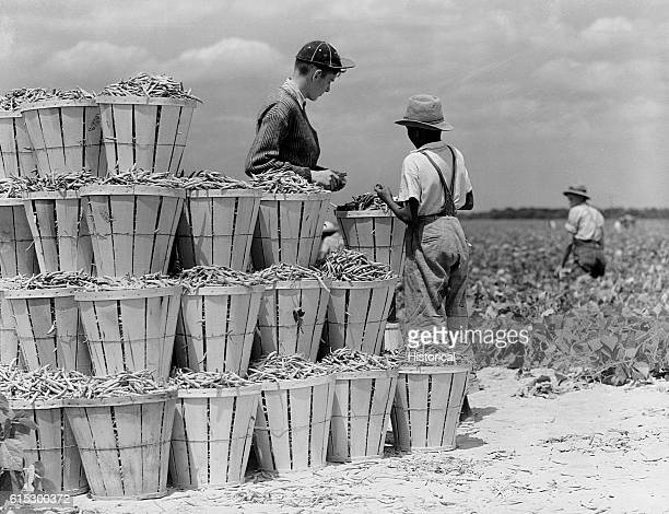 Migrant workers paid by the weight of beans they pick at Seabrook Farms. Bridgeton, New Jersey, June 1942.