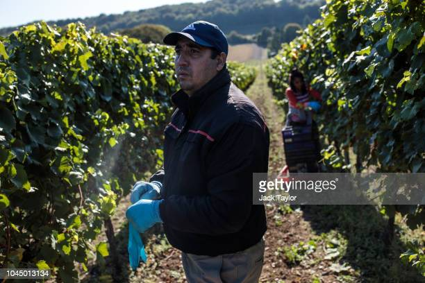 Migrant Workers pick Chardonnay grapes during the harvest at Hambledon Vineyard on October 3 2018 in Hambledon United Kingdom Around 80 predominantly...