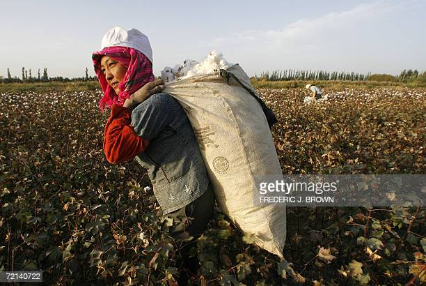 Migrant workers pick cotton from fields in Korla 10 October 2006 an oil town on the edge of the Tarim Basin and the Taklamakan Desert south of Urumqi...