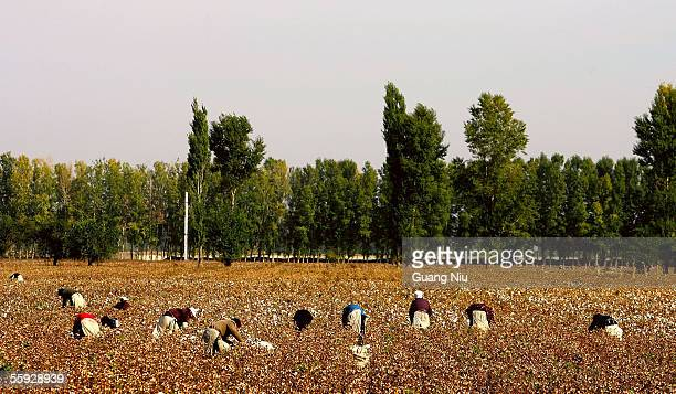 Migrant workers pick cotton in the fields October 15 2005 in Shihezi city of Xinjiang province China Every year thousands of farmers from inland...