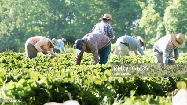 migrant workers picking strawberries - farm worker stock pictures, royalty-free photos & images
