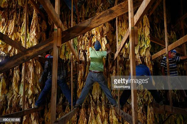 Migrant workers stand in the rafters of a tobacco barn while hanging Burley tobacco grown by Langley Farms in Finchville Kentucky US on Thursday Sept...
