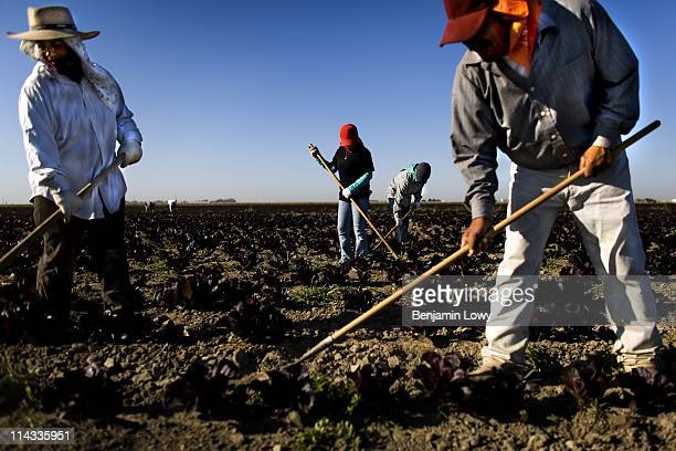 Migrant workers weed lettuce seed plants at an organic produce farm on June 21 2006 near Fresno California