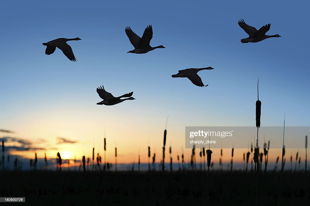 XXL migrating canada geese at sunset : Stock Photo