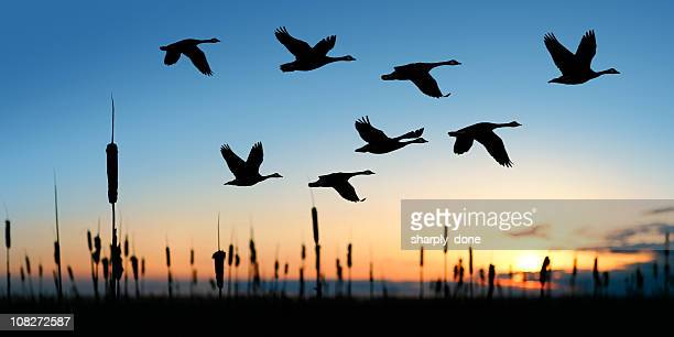 xl migrating canada geese - birds flying stock photos and pictures