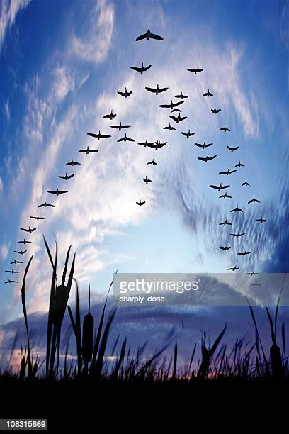 xxxl migrating canada geese - birds flying stock photos and pictures