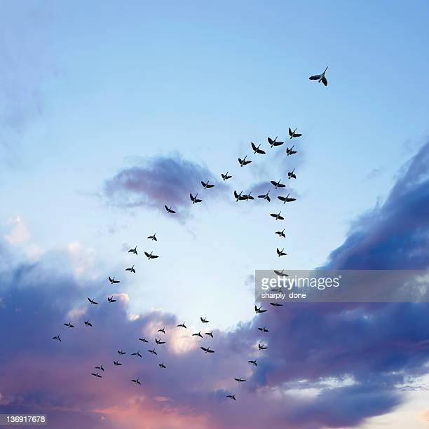xl migrating canada geese - formation stockfoto's en -beelden