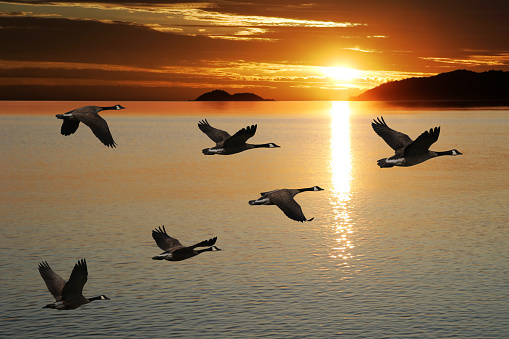 XL migrating canada geese 136917788