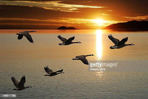 xl migrating canada geese - sunset lake stock photos and pictures