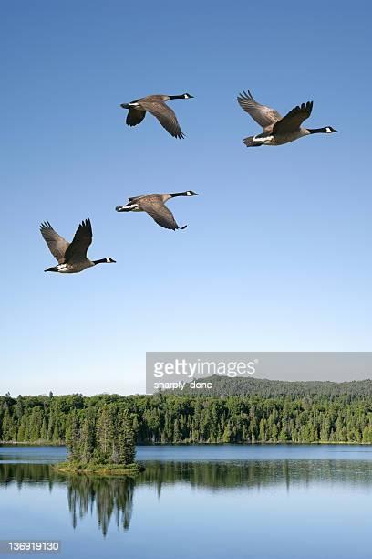 xxxl tierwanderung kanadagänsen - vogelschwarm formation stock-fotos und bilder
