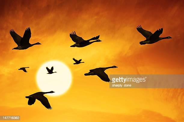 xxxl migración de canadá gansos - imperial system fotografías e imágenes de stock