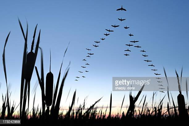 xxl migrating canada geese - bird stock photos and pictures