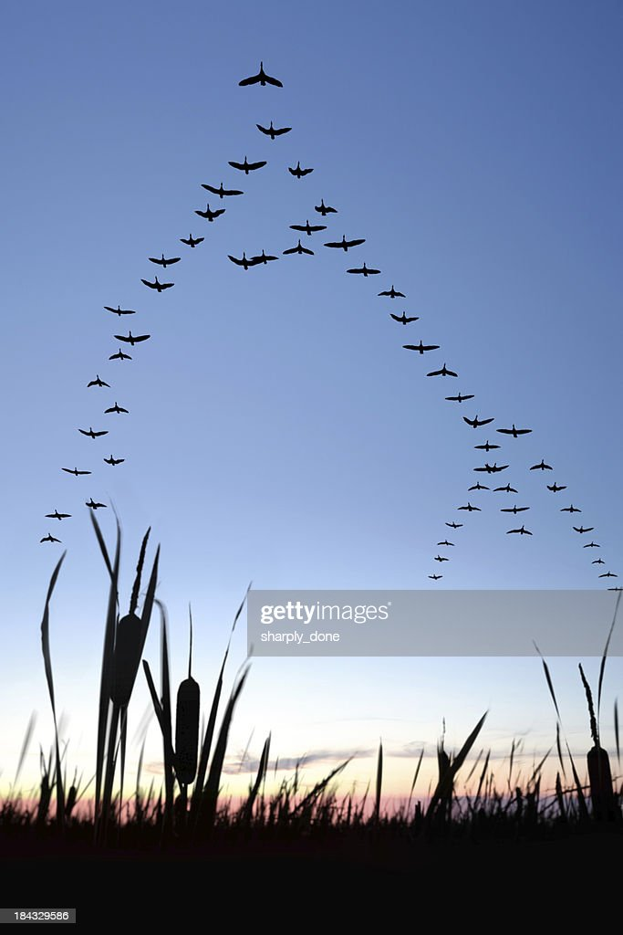 XXL migrating canada geese : Stock Photo