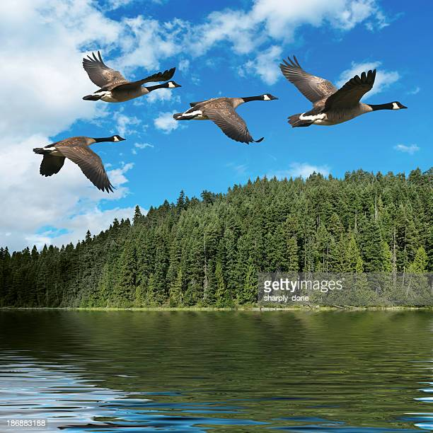 xxxl migrating canada geese - north stock pictures, royalty-free photos & images