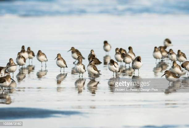 migrating dunlins (calidris alpina) rest on the beach - wader bird stock photos and pictures