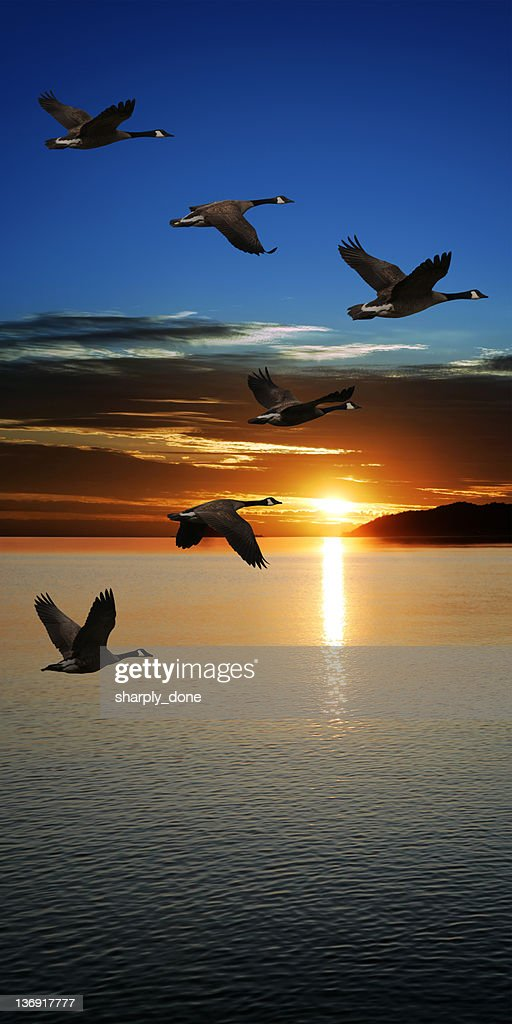 XXXL migrating geese at sunset