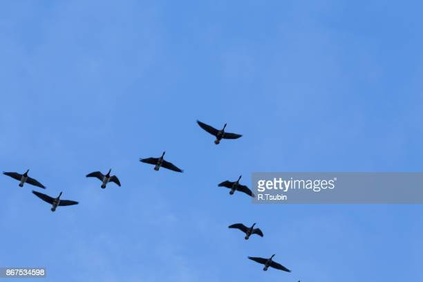 migrating geese birds - animal migration stock pictures, royalty-free photos & images