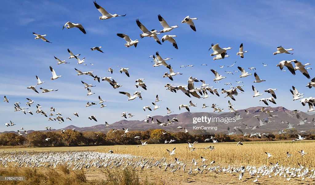 Migrating Geese : Stock Photo