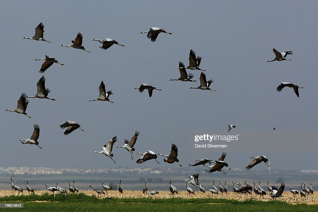 Migrating Cranes Stay For Winter In Israel : News Photo