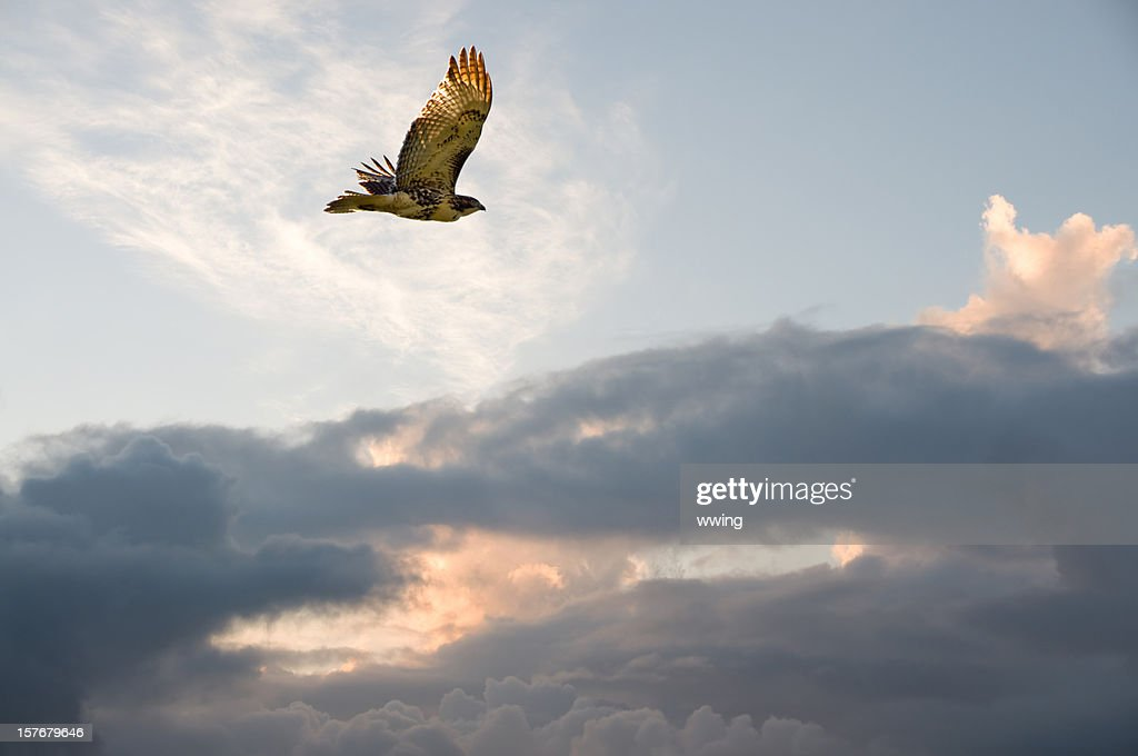Migrating Hawk : Stock Photo