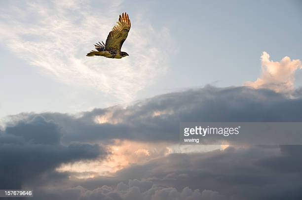 migrating hawk - red tailed hawk stock photos and pictures
