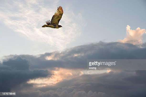 a migração hawk - hawk imagens e fotografias de stock