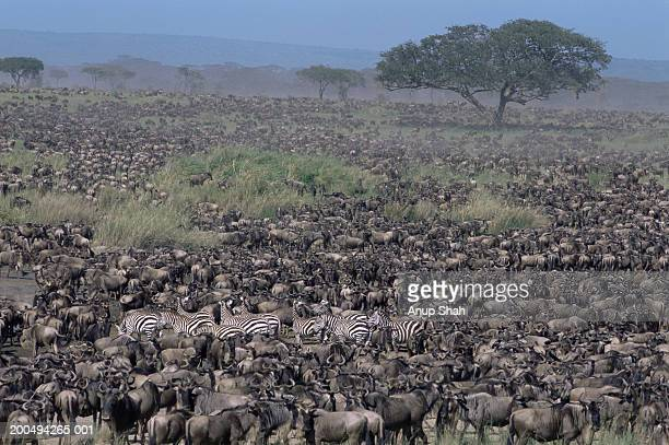 migrating herds of plains zebra and wildebeest - animal migration stock pictures, royalty-free photos & images