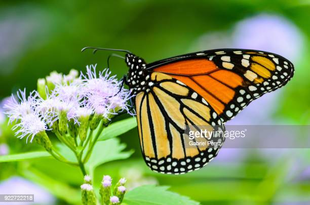 a migrating monarch butterfly - mariposa monarca fotografías e imágenes de stock