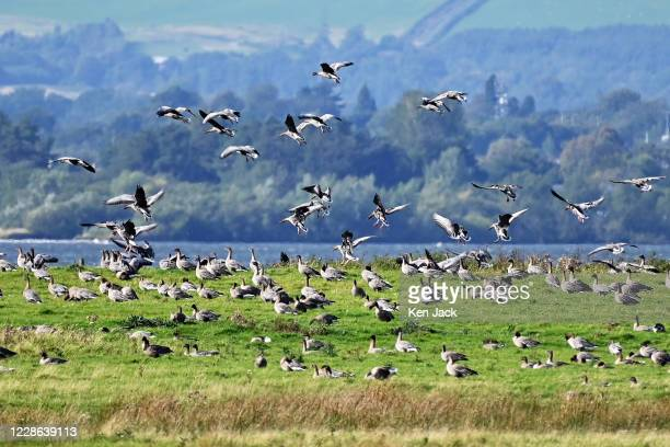 Migrating pink-footed geese at the RSPB's Loch Leven nature reserve, on September 21, 2020 in Kinross, Scotland. These are some of the first arrivals...