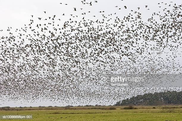 Migrating Pink-Footed Geese, Norfolk, UK