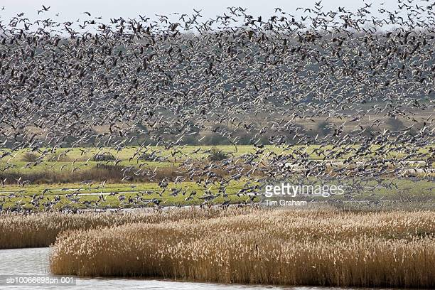 migrating pink-footed geese, norfolk, uk - nature reserve stock pictures, royalty-free photos & images