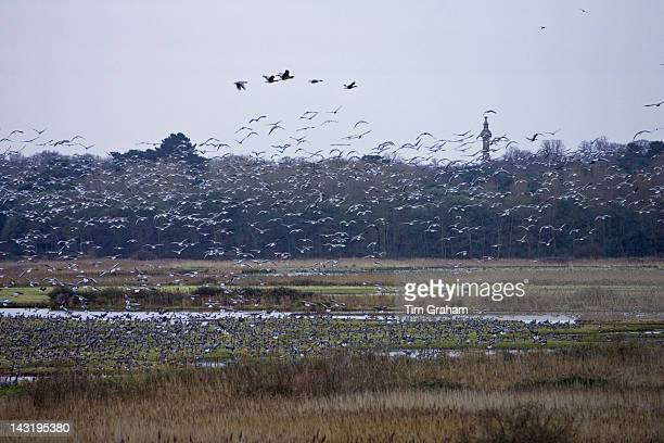 Migrating PinkFooted geese overwintering on marshland at Holkham North Norfolk coast East Anglia Eastern England