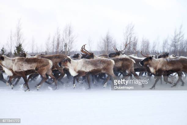migrating reindeer herd - cliqueimages stock pictures, royalty-free photos & images