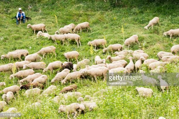pecore migratorie nei prati, abruzzo, italia - parco nazionale d'abruzzo foto e immagini stock
