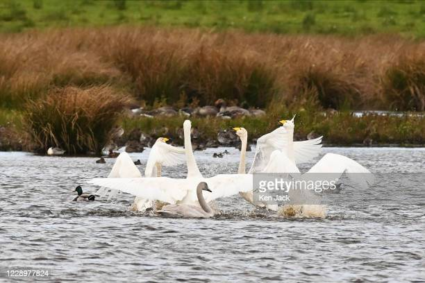 Migrating whooper swans at the RSPB's Loch Leven nature reserve, on October 9, 2020 in Kinross, Scotland. Thousands of whooper swans migrate to the...