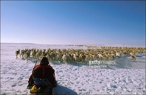 Migration Of Reindeer In Countries Of Sami Lapland In Norway In 1999JohanMathe pushes the herd with his dog Ben in northern Mieron The convoy left...
