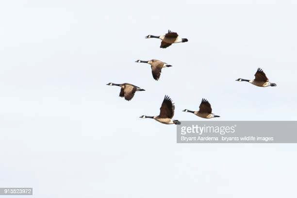 migration - goose stock pictures, royalty-free photos & images