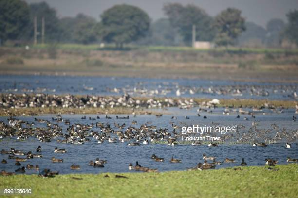 Migratory and resident birds flying at Dhanauri and Thasrana Wetlands on December 8 2017 in Greater Noida India The wetland hosts thousands of...