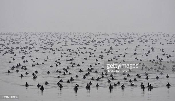 Migratory birds float in Dal Lake during a foggy weather on December 8 2016 in Srinagar India The weather in the region continued to remain dry even...