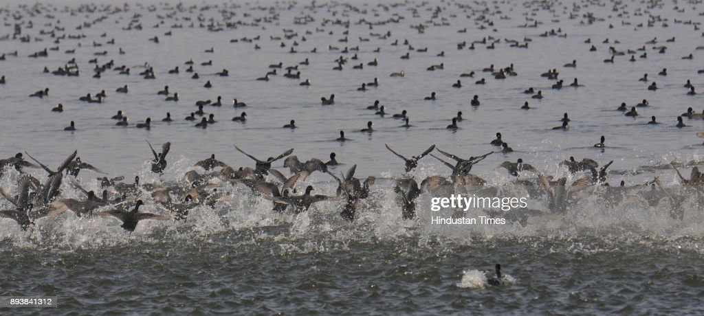 Migratory Birds Float In Dal Lake
