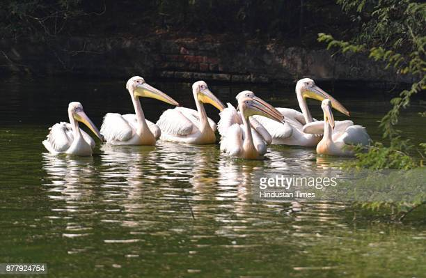 Migratory birds like Painted storks and Great white pelican seen at Delhi Zoo on November 23 2017 in New Delhi India