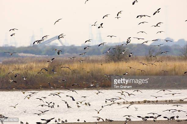 Migratory Lapwings and waders at Thames Estuary It is feared that Avian Flu could be brought to Britain from Europe by migrating birds