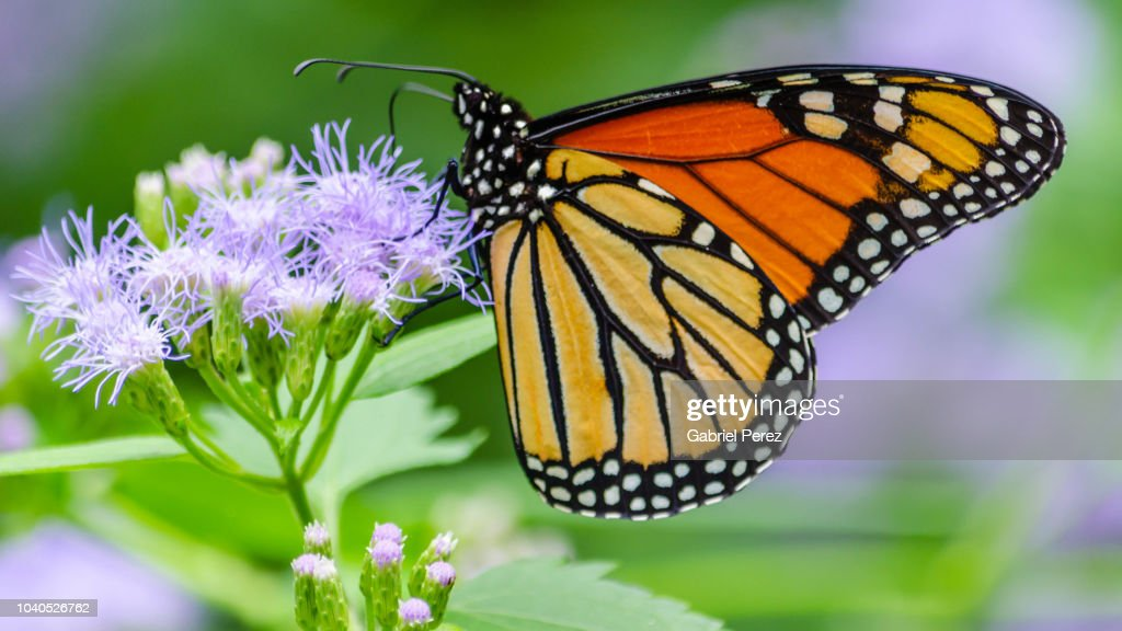 A Migratory Monarch Butterfly Feeding oa a Texas Wildflower : Stock Photo