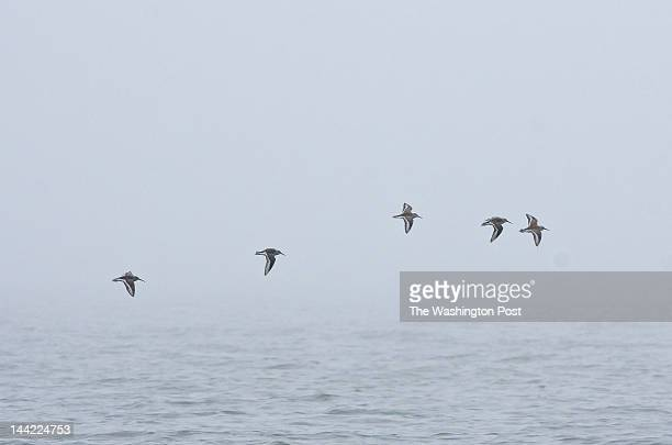 Migratory shorebirds take flight on a foggy morning above the Delaware Bay The bird migration occurs at the same time is the horseshoe crab spawning...