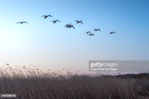 migratory swans - 茨城県 ストックフォトと画像