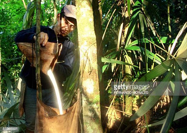 Miguel Oliva collects resin from a Chico Zapote tree in the Guatemalan province of Peten 30 December 1999 The resin is exported to Japan as chicle...