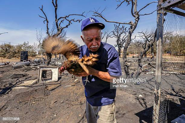 Miguel Ramos holds a single chicken that survived devastation caused by Blue Cut Fire that swept through his residence on 6500 block of Oak Hills...