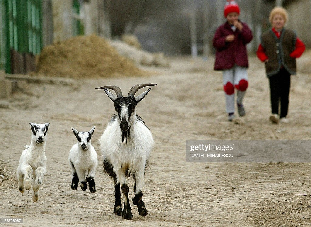 Baby goat jump under the sight of two girls in the village of Mingir