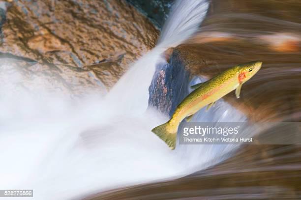 Miigrating Steelhead Salmon Leaping Over Falls.