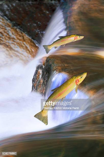 Miigrating Steelhead Salmon Leaping Over Falls.